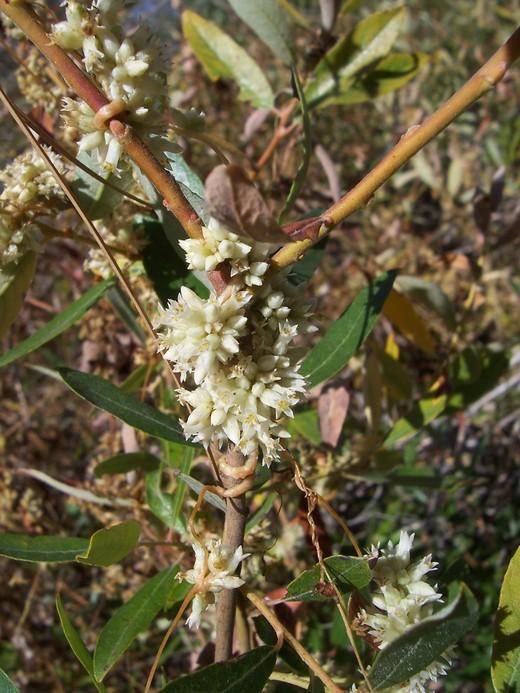 Cuscuta californica var. breviflora