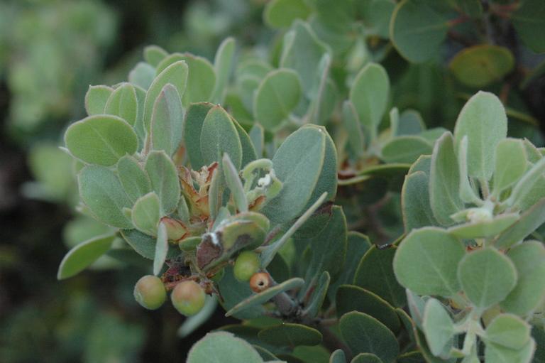 Arctostaphylos canescens ssp. sonomensis