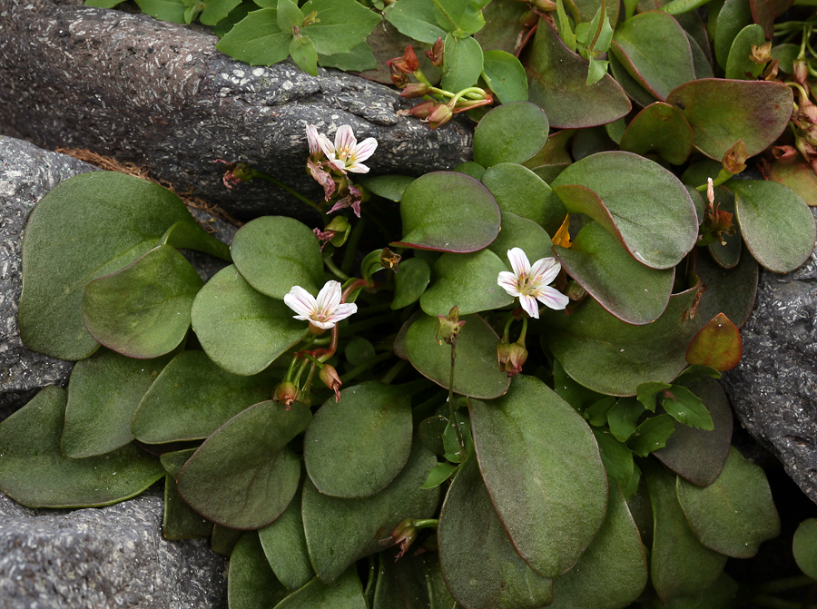 Claytonia nevadensis