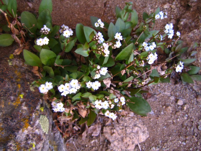 Hackelia sharsmithii