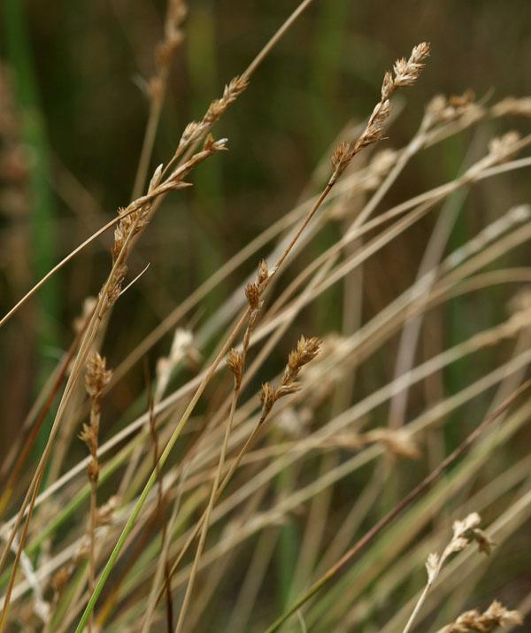 Carex mariposana