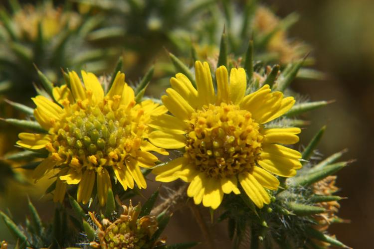 Centromadia parryi ssp. congdonii