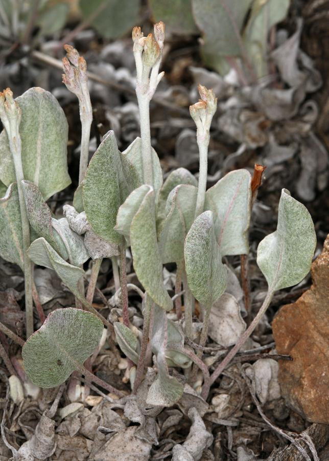 Eriogonum rupinum