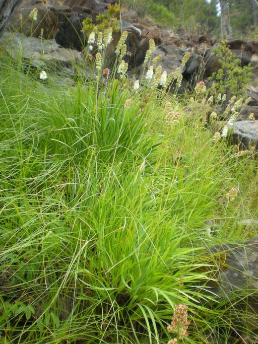 Triantha occidentalis