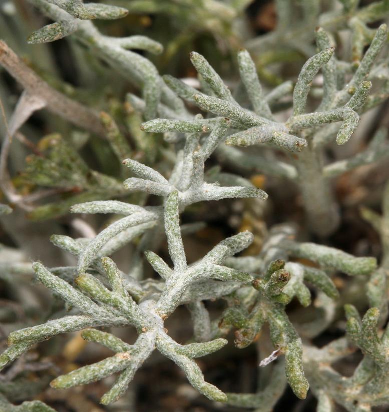 Hymenopappus filifolius var. nanus