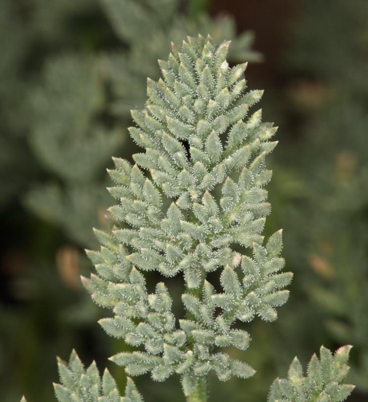 Cymopterus aboriginum