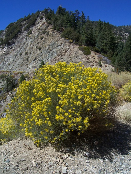 Chrysothamnus nauseosus ssp. mohavensis