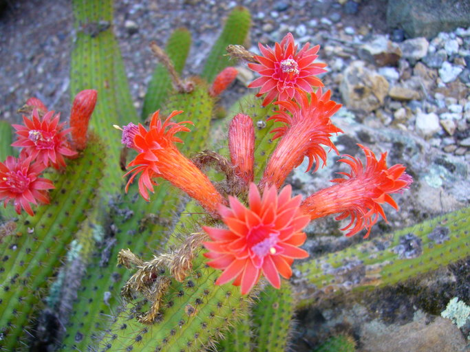 Cleistocactus samaipatanus image