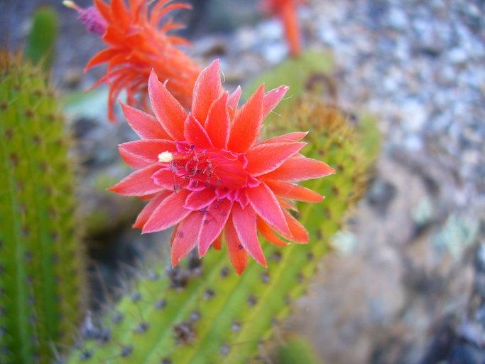 Cleistocactus image