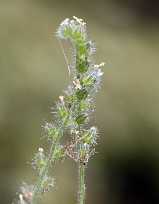 Cryptantha muricata var. denticulata