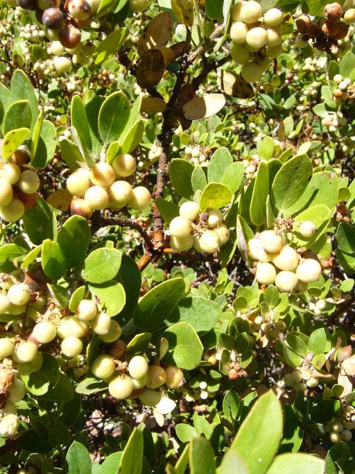 Arctostaphylos crustacea ssp. subcordata