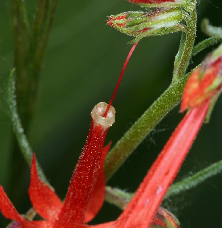 Ipomopsis aggregata ssp. aggregata