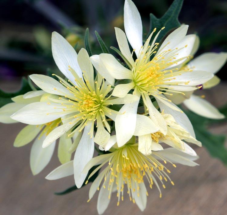 Mentzelia multiflora