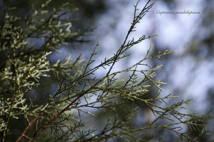 Cupressus guadalupensis image