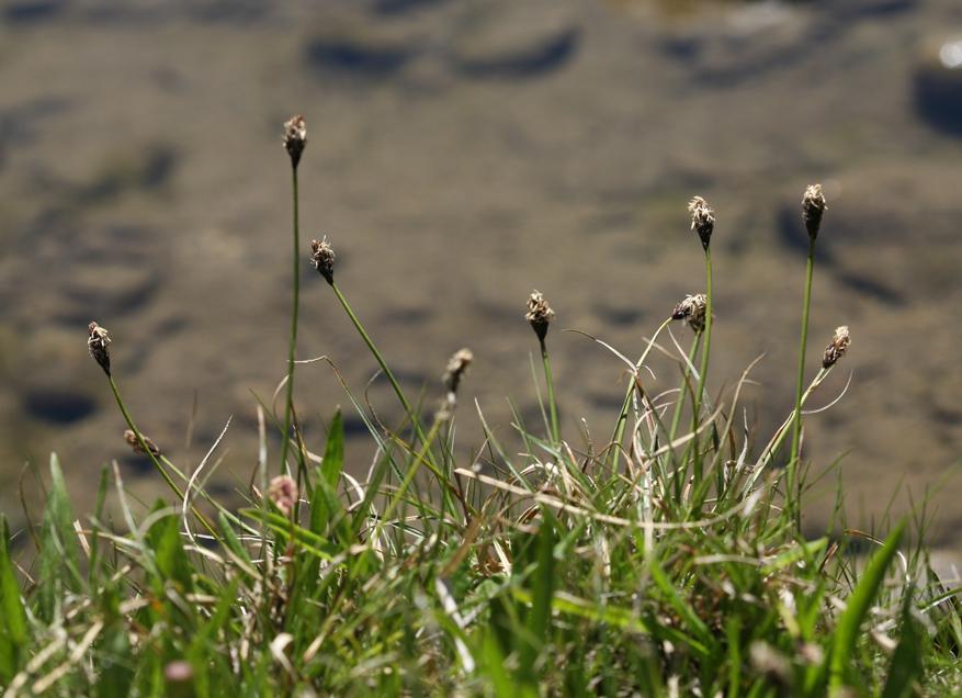 Carex nigricans