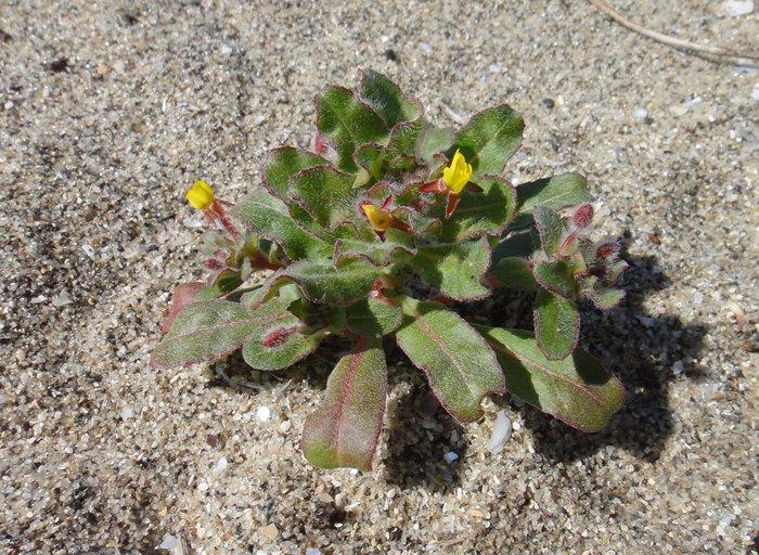 Camissoniopsis guadalupensis ssp. clementina