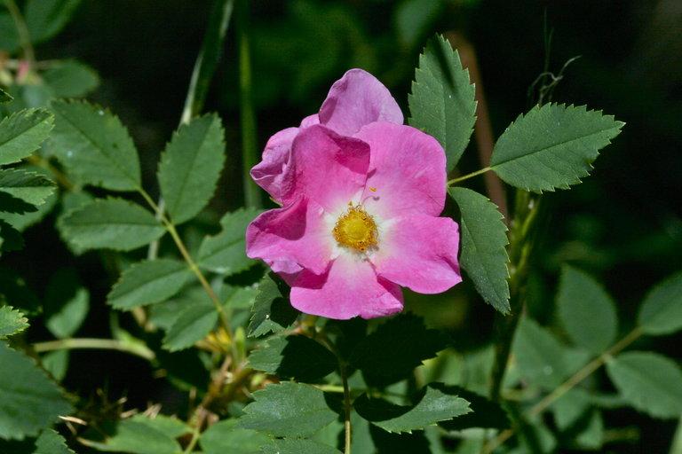 Rosa woodsii