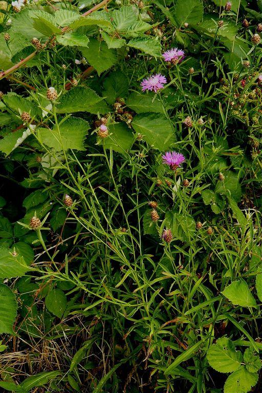 Centaurea jacea ssp. pratensis