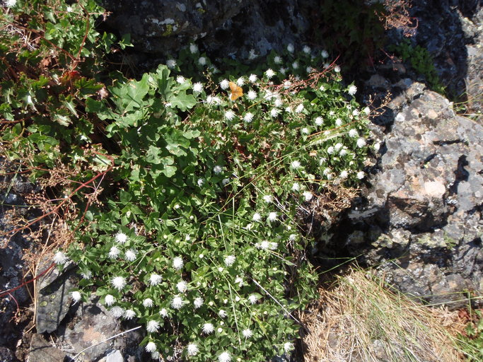 Ageratina shastensis; Shasta Eupatory