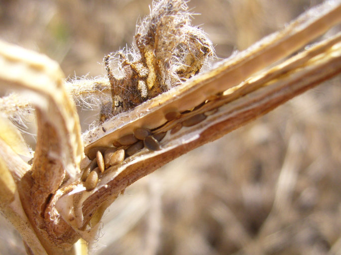 Oenothera deltoides ssp. howellii