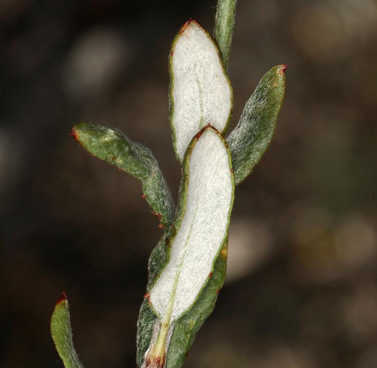 Eriogonum microtheca var. laxiflorum