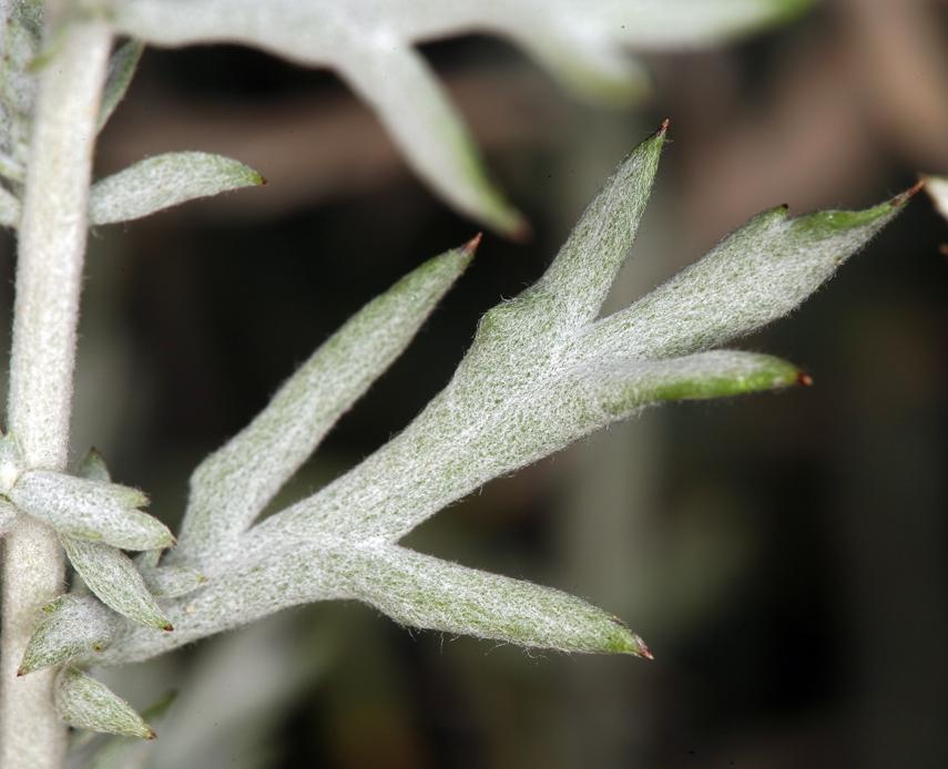 Artemisia ludoviciana ssp. albula