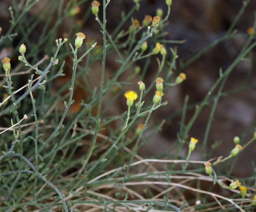 Perityle megalocephala var. megalocephala