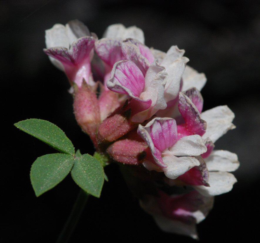 Hosackia stipularis var. ottleyi