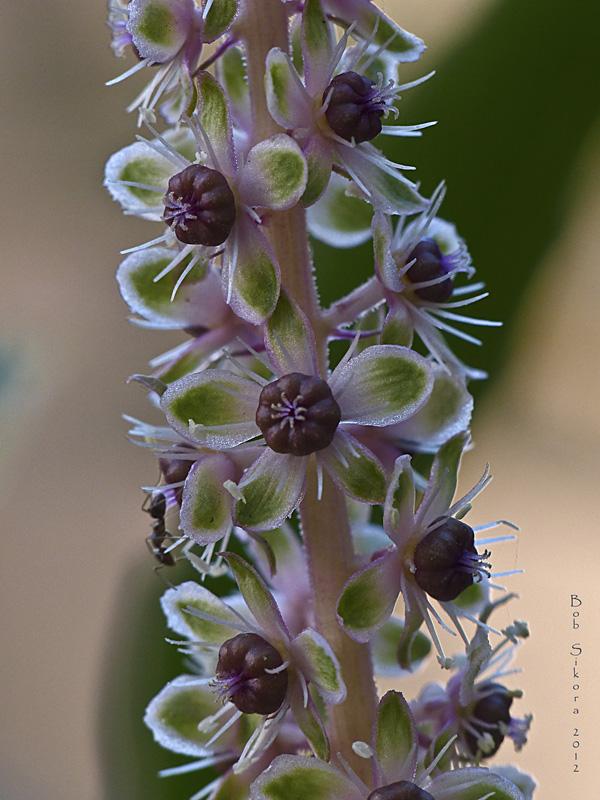 Phytolacca heterotepala