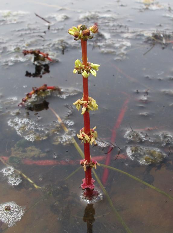 Myriophyllum sibiricum