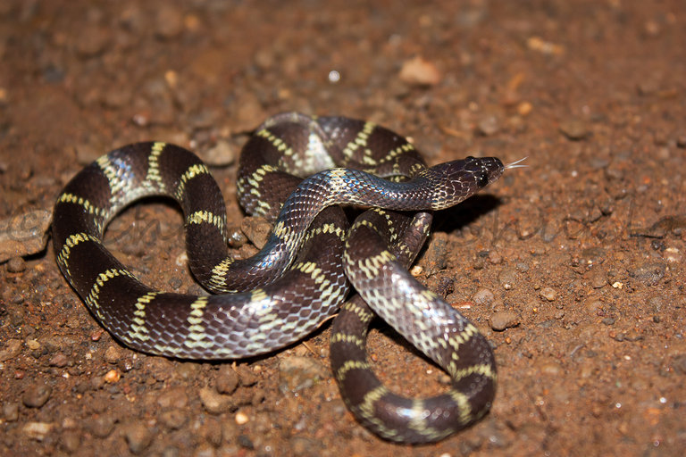 Image result for travancore wolf snake