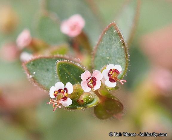 Euphorbia arizonica