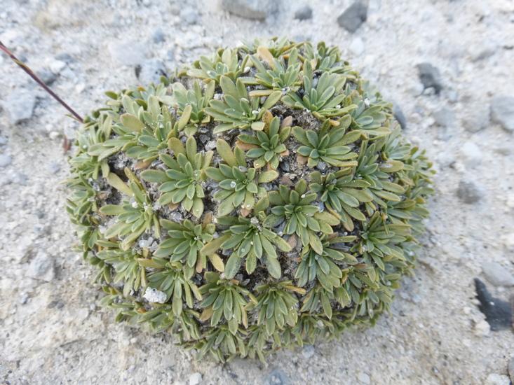 Petrophytum caespitosum