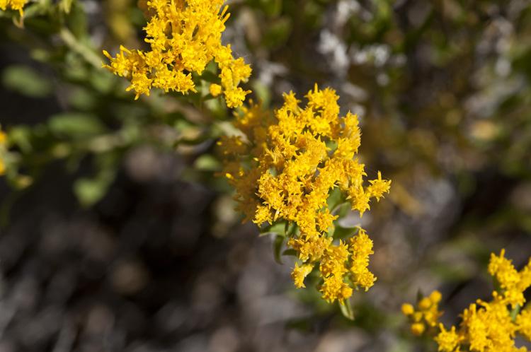 Chrysothamnus viscidiflorus ssp. lanceolatus