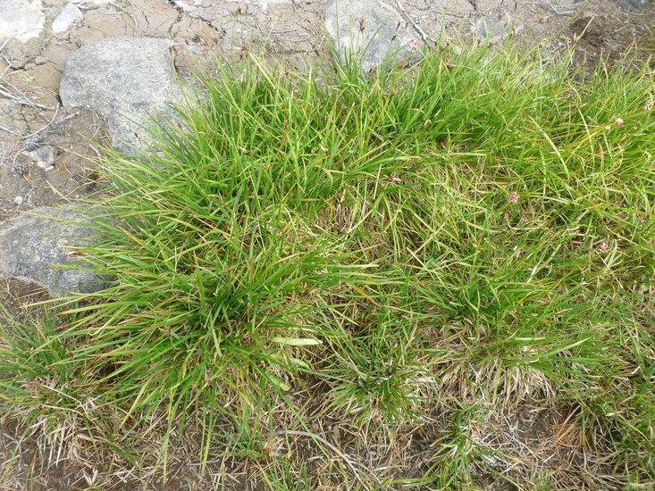 Carex scopulorum