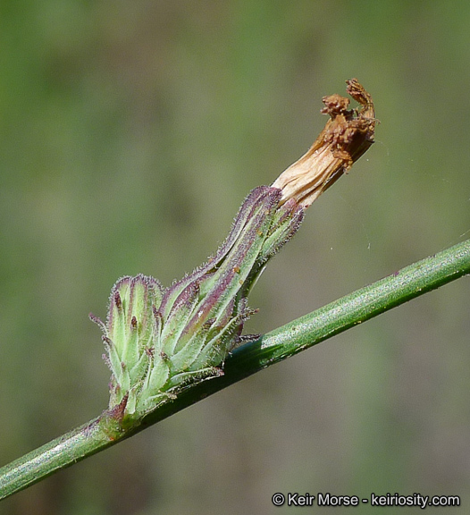 Stephanomeria diegensis