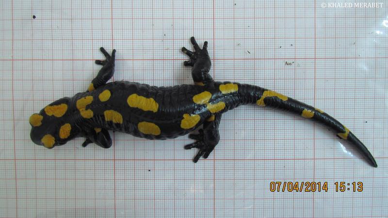 Salamandra a. algira