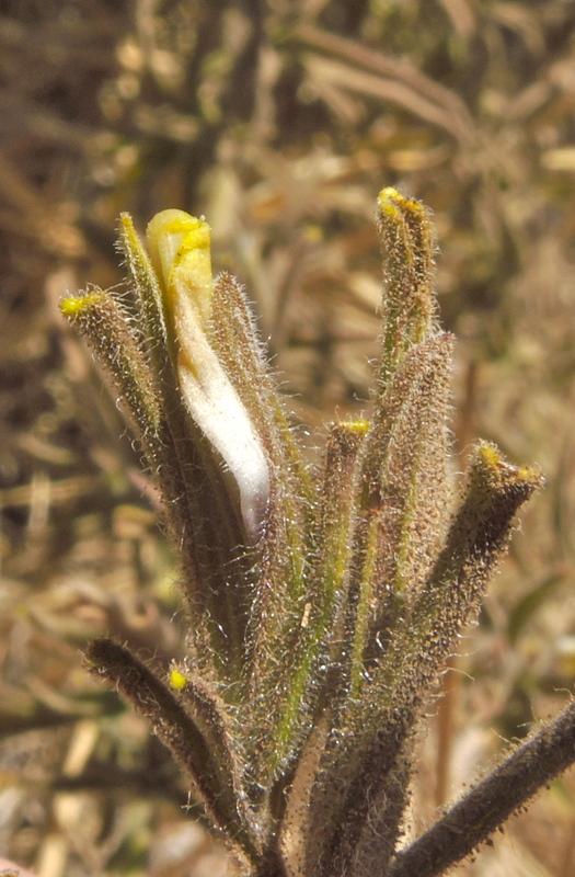 Cordylanthus pilosus ssp. pilosus
