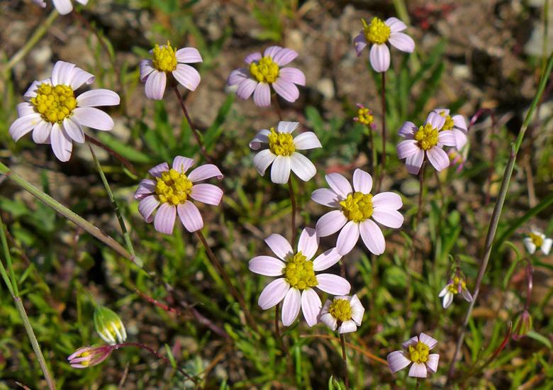 Pentachaeta bellidiflora
