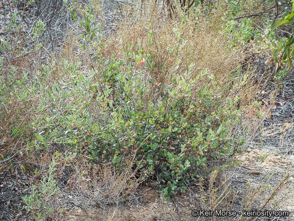Rhamnus pilosa