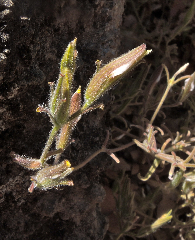 Cordylanthus tenuis ssp. brunneus
