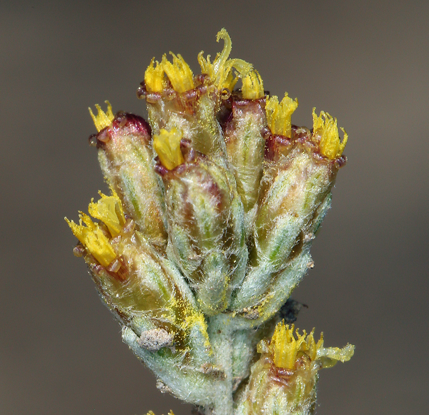 Artemisia arbuscula ssp. longiloba
