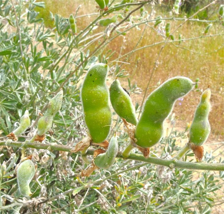 Lupinus formosus var. formosus