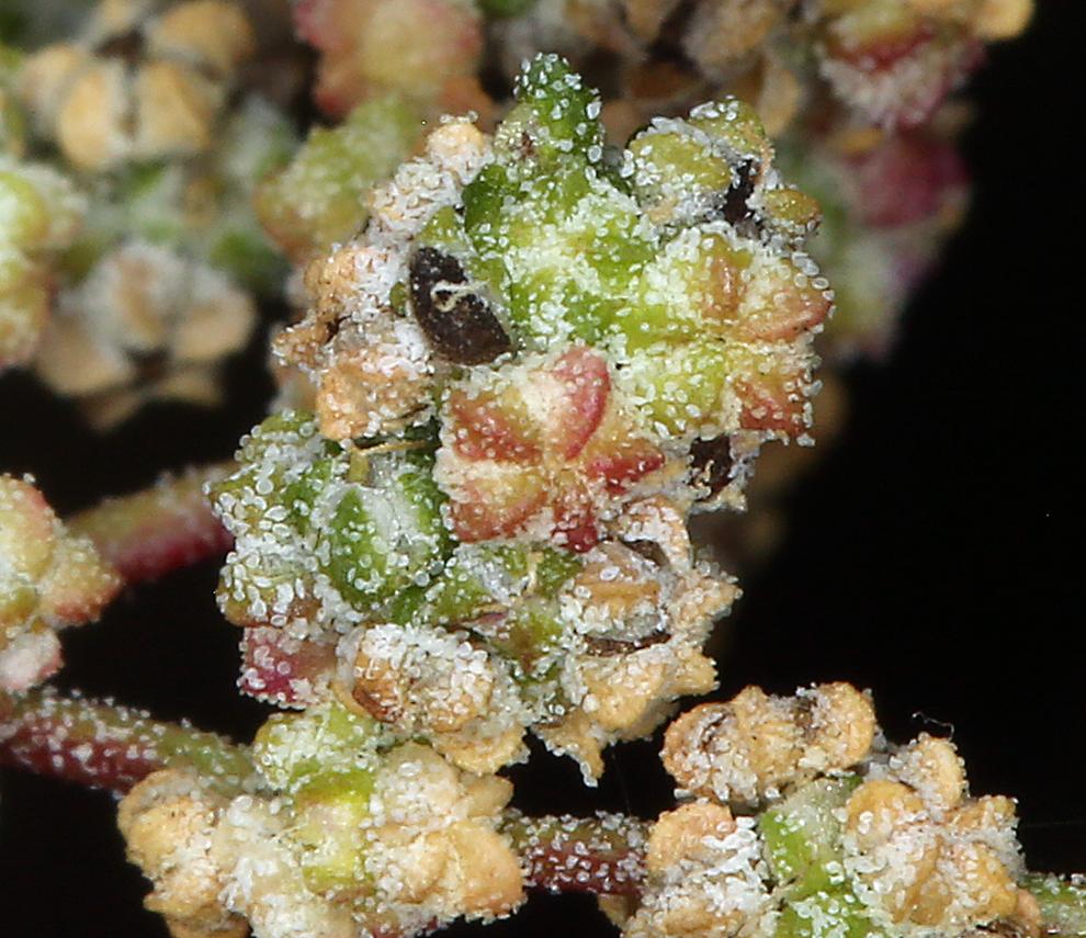 Chenopodium incanum