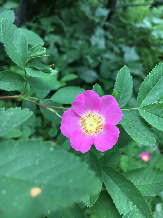 Rosa pisocarpa ssp. ahartii