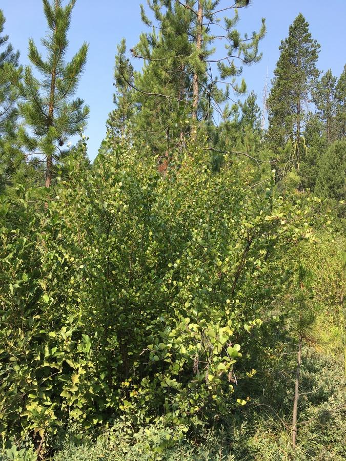 Betula glandulosa