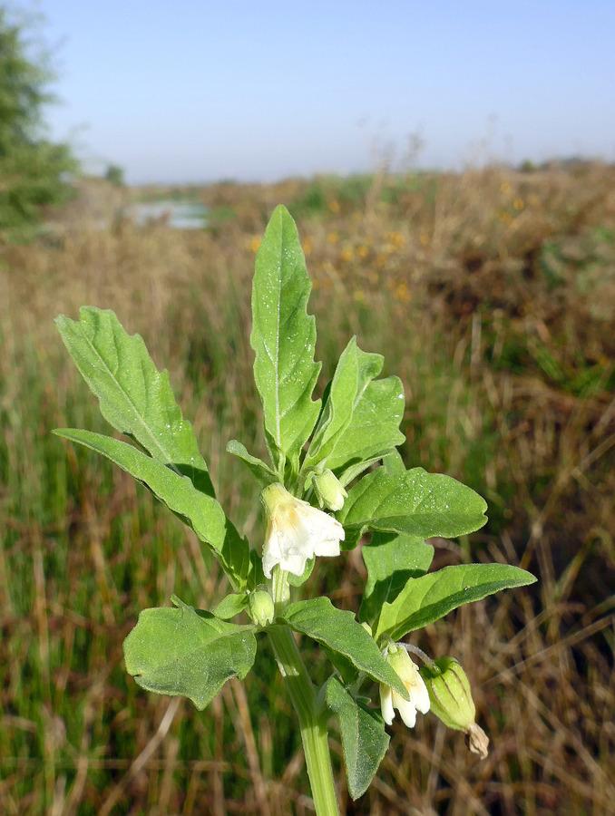 Physalis lancifolia