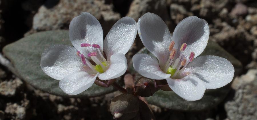 Claytonia crawfordii
