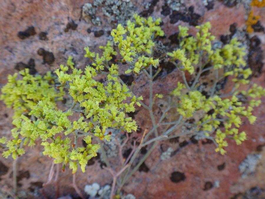Eriogonum microtheca var. ambiguum