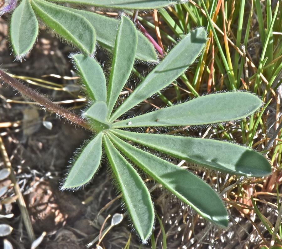 Lupinus saxosus